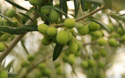Nace Oleofórum, el primer punto de encuentro entre empresas y agentes del aceite de oliva y de la aceituna